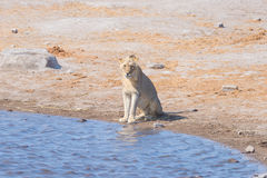 Young male Lion drinking from waterhole in daylight. Wildlife Safari in Etosha National Park, the main travel destination in Namib Stock Image