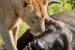 Young Male Lion feeding on dead buffalo carcass. In Kruger National Park, South Africa Royalty Free Stock Photography