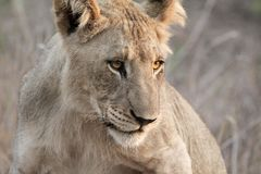 Lion at dusk. A young male lion gets up as the air begins to cool Royalty Free Stock Photos