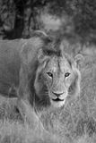 Young Male Lion. A young male lion gives the camera a good stare Stock Photos