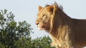A male lion with the sun shining on it stock photo