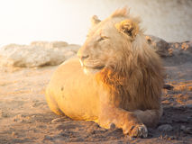 Young male lion having a rest on dusty ground at sunset time, Etosha National Park, Namibia, Africa Stock Photos
