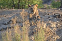Young Male Lion Stock Photography