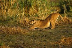 View of a large lion through the reeds stretching stock photo