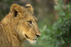 The young male lion just awaking royalty free stock photo