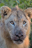 Young Male Lion in Kruger National Park Royalty Free Stock Photo