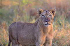 Young Male Lion in Kruger National Park Stock Photos