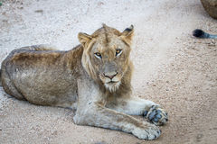 Young male Lion laying on a dirt road. Royalty Free Stock Images