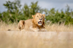Young male Lion laying down and looking. Royalty Free Stock Images
