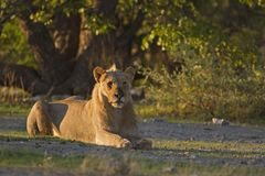 Young male lion laying in early morning sunlight Stock Images