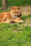 Young male lion looking angry Royalty Free Stock Images