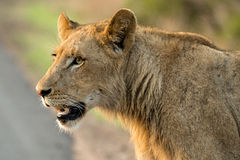 Young Male Lion. A young male lion looking off into the distance Stock Photography
