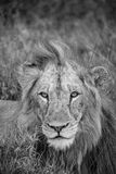 Young Male Lion. A young male lion looks into the camera Stock Images