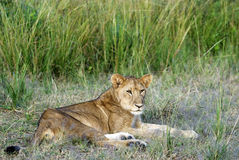 Young Male Lion Lying Down Royalty Free Stock Photography