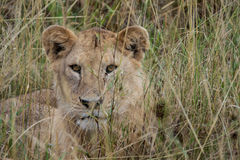 Young Male Lion Peeking through Grass Stock Photography