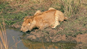 Young male lion in Masai Mara stock footage