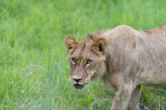 A young male lion in the morning(2). There were 4 lions ( Mother with three sons) who had managed to kill a wildebeest Stock Image