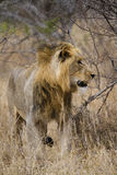 Young male lion. Is one of the big five of africa Royalty Free Stock Photo