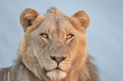 Young male lion(Panthera leo krugerii). In South Africa Stock Image