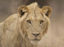 Young male lion (Panthera leo). Staring at the camera Stock Photography
