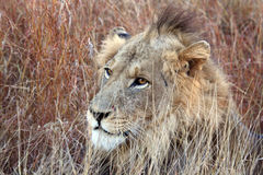 Young male lion with punk hairstyle. Early morning, staring eyes, between the grass Royalty Free Stock Photography