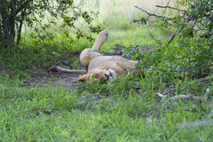 A young male lion relaxing. A young male lion in the afternoon, relaxing Royalty Free Stock Photos