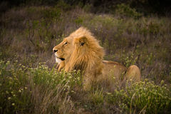 Young male lion Stock Photos