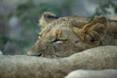 A young male lion cub sleeping on its sibling royalty free stock photos