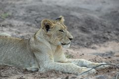 A young male lion resting in the open. royalty free stock photo
