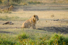 Young male lion resting Stock Image