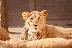 Young male lion resting on sun Stock Images