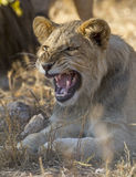 A young male lion snarling, South Africa Stock Photos