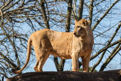 Young Male Lion Standing Royalty Free Stock Images