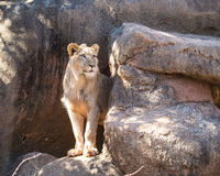 Young Male Lion Standing Stock Photos