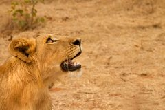 Young male lion stare Stock Image