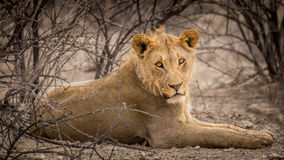 Young male lion taking cover underneath bushes in Namibia Stock Photography