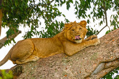 Young Male Lion in a Tree. In the Ishasha region of Queen Elizabeth National Park in Uganda Stock Image