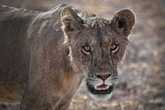 Young Male Lion up close in Kenya Royalty Free Stock Images