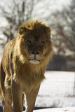 Young male lion walking Stock Photos