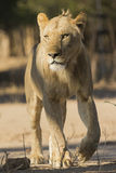 Young male Lion walking. Young male Lion (Panthera leo) walking Stock Photography