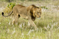 Young male lion walking Stock Photography