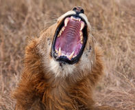 Young male lion yawning Stock Images