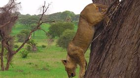 Young male lion. Descending from a tree in the Tarangire National Park, Tanzania, Africa. Panthera Leo species stock video