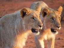 Young male lions Stock Images