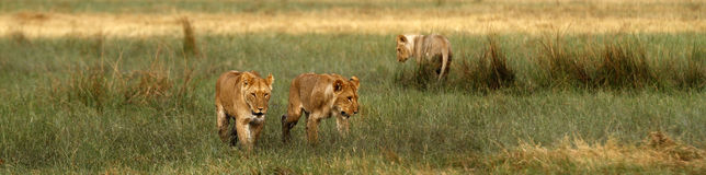 Young male lions Stock Photography