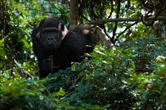 The young male lowland gorilla. Royalty Free Stock Images