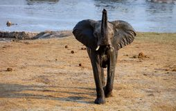 Young male Loxodonta africana, African elephant Royalty Free Stock Photo