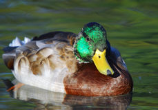 Young Male Mallard. Close-up picture of a young male Mallard duck Royalty Free Stock Image