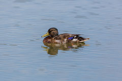Young male mallard anas platyrhynchos swimming in water Stock Images