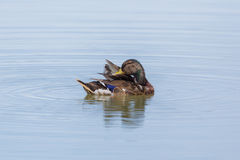 Young male mallard anas platyrhynchos swimming in water. Young male natural mallard anas platyrhynchos grooming in water Royalty Free Stock Images